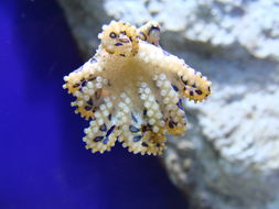 Image of greater blue-ringed octopus