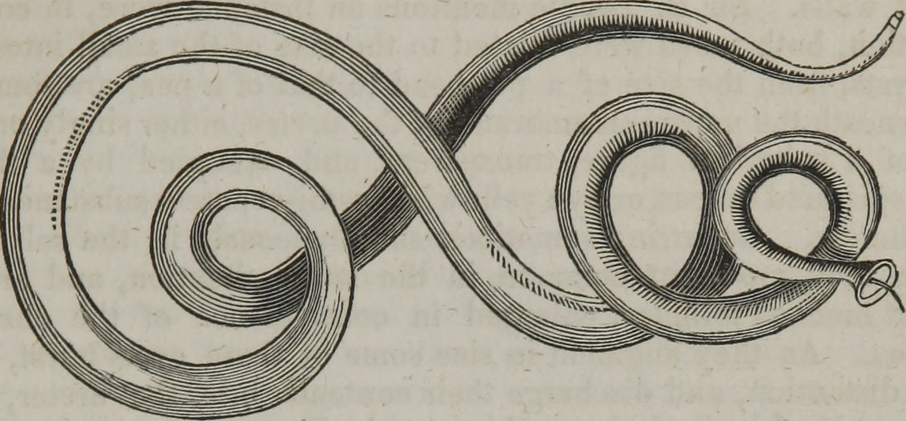 Image of <i>Strongylus vulgaris</i> (Looss 1900)
