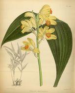 Image of <i>Phaius flavus</i> (Blume) Lindl.