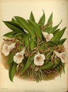Image of <i>Trichopilia tortilis</i> Lindl.