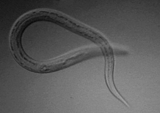 Image of <i>Necator americanus</i>