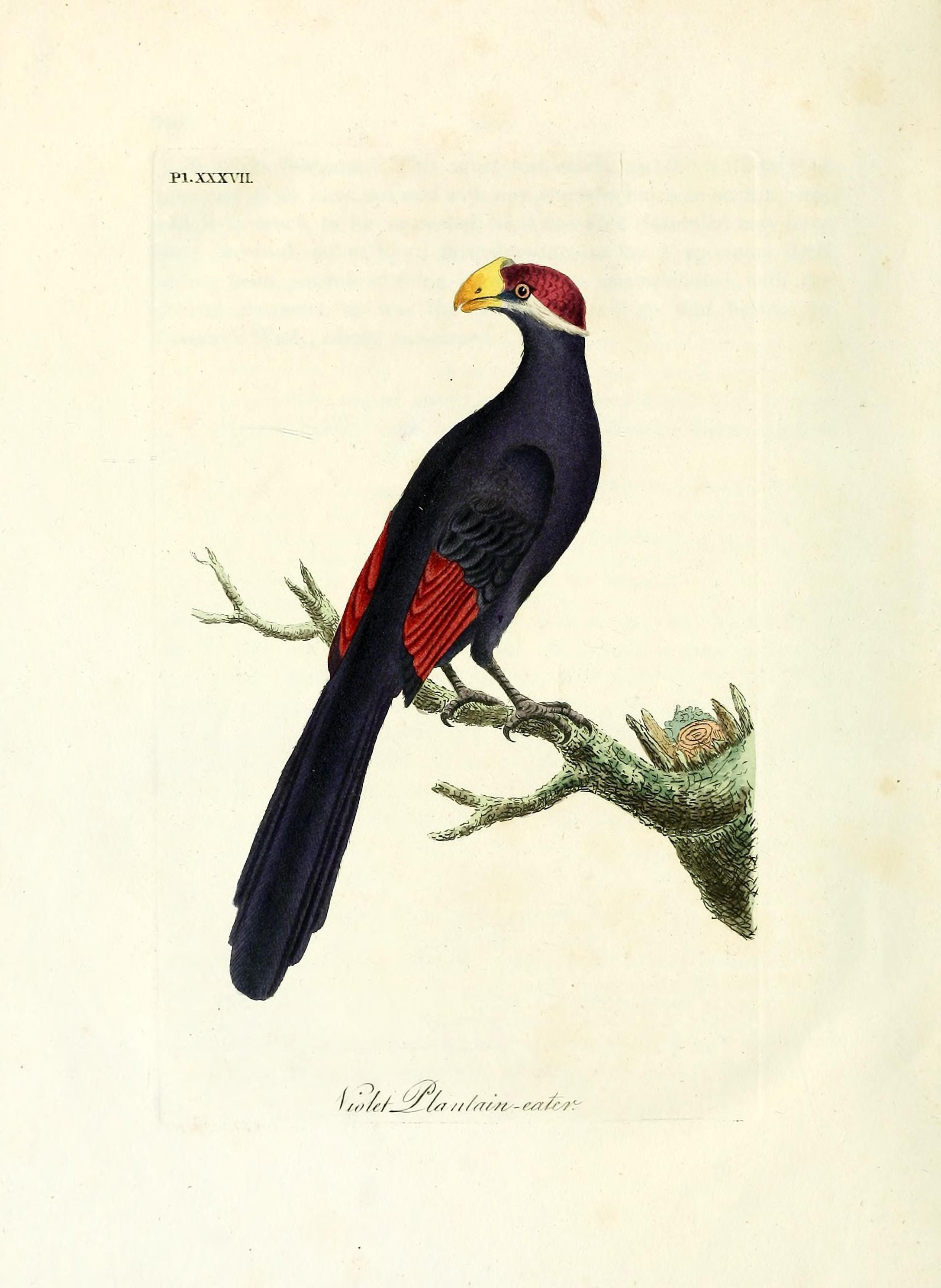 Image of Royal Cuckow