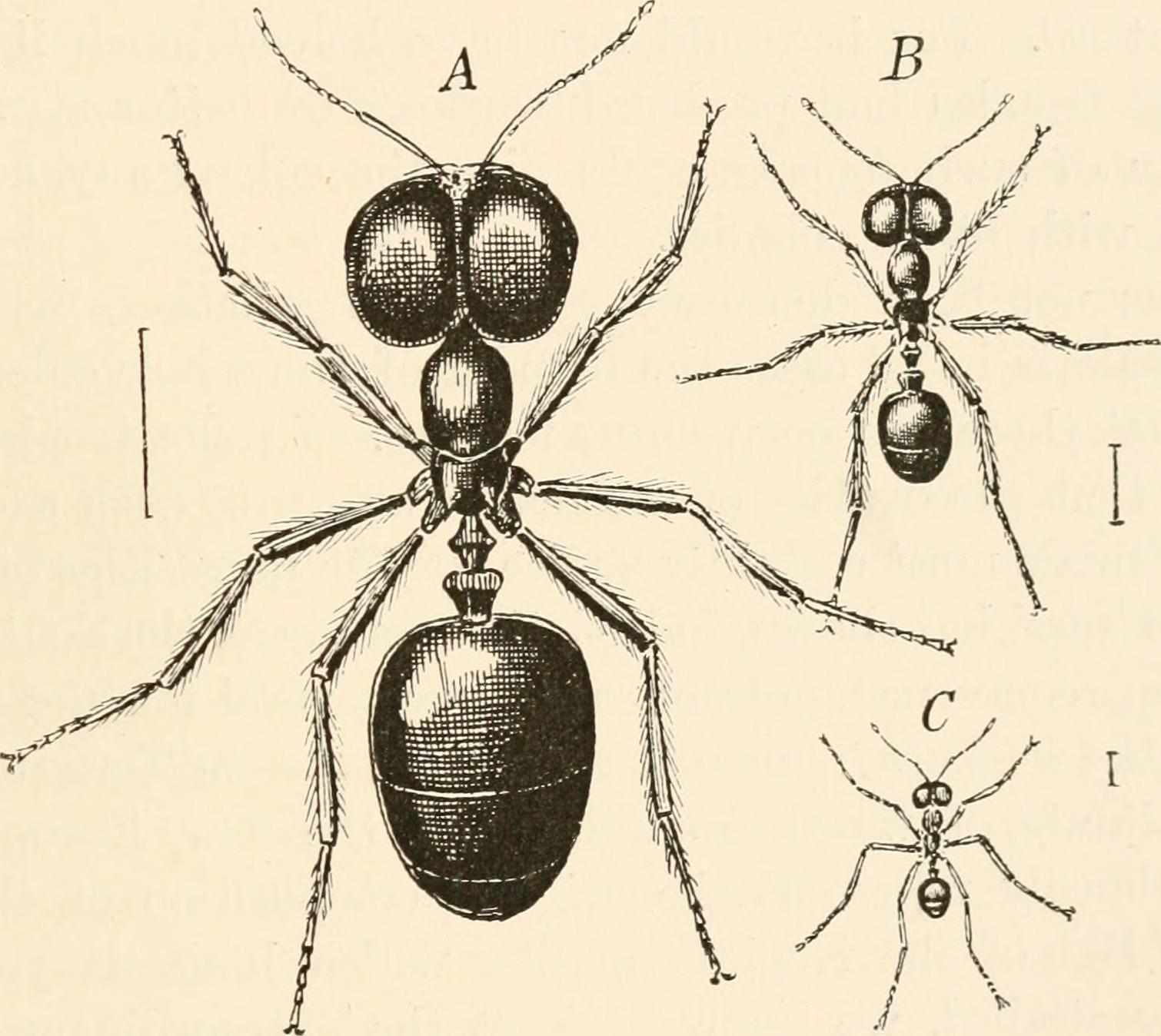 Image of Asian Marauder Ant