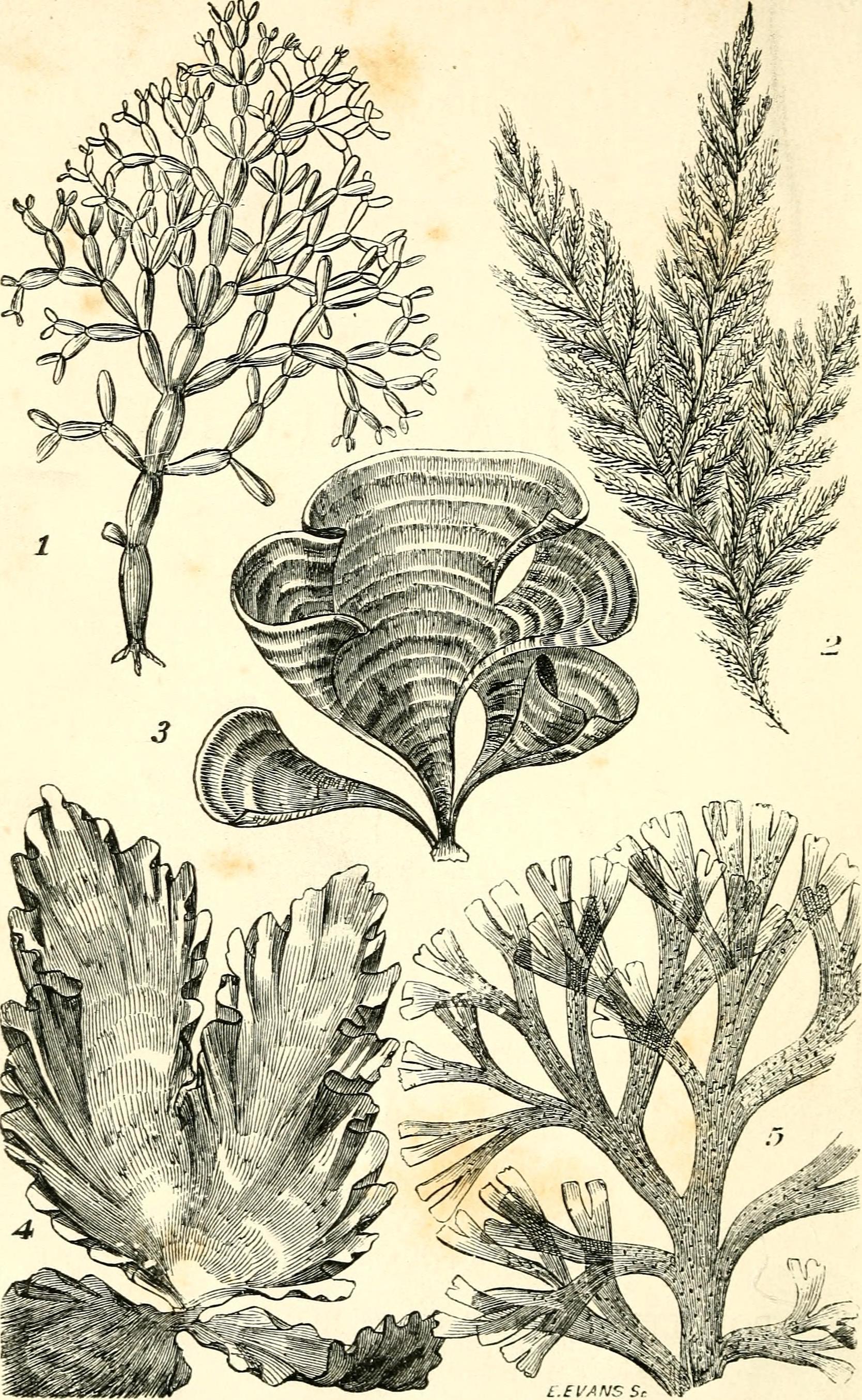 Image of <i>Ectocarpus siliculosus</i>
