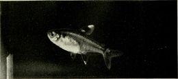 Image of x-ray fish