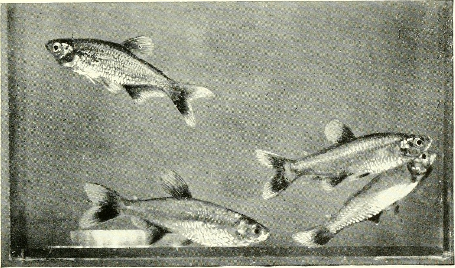 Image of Bloodfin tetra