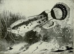 Image of African Electric Catfish