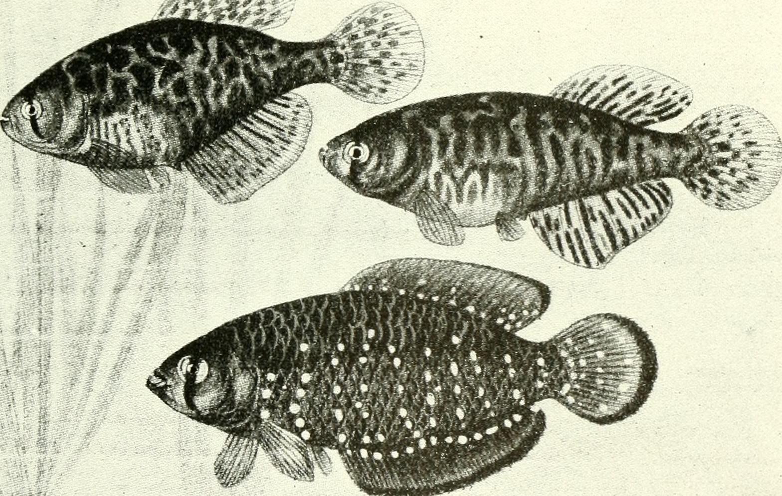 Image of Argentine pearlfish