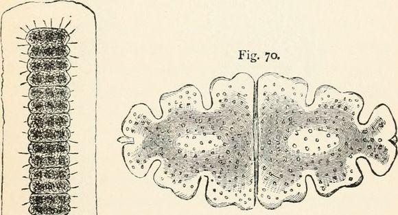 Image of Euastrum