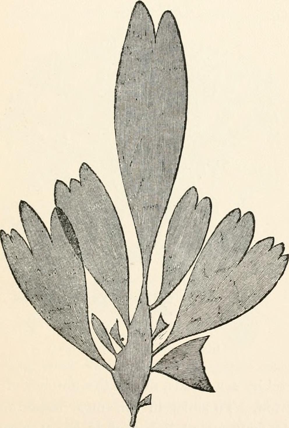 Image of Rhodymenia