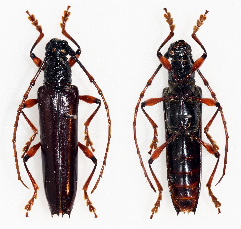 Image of <i>Coleoxestia sanguinipes</i> (Bates 1884)