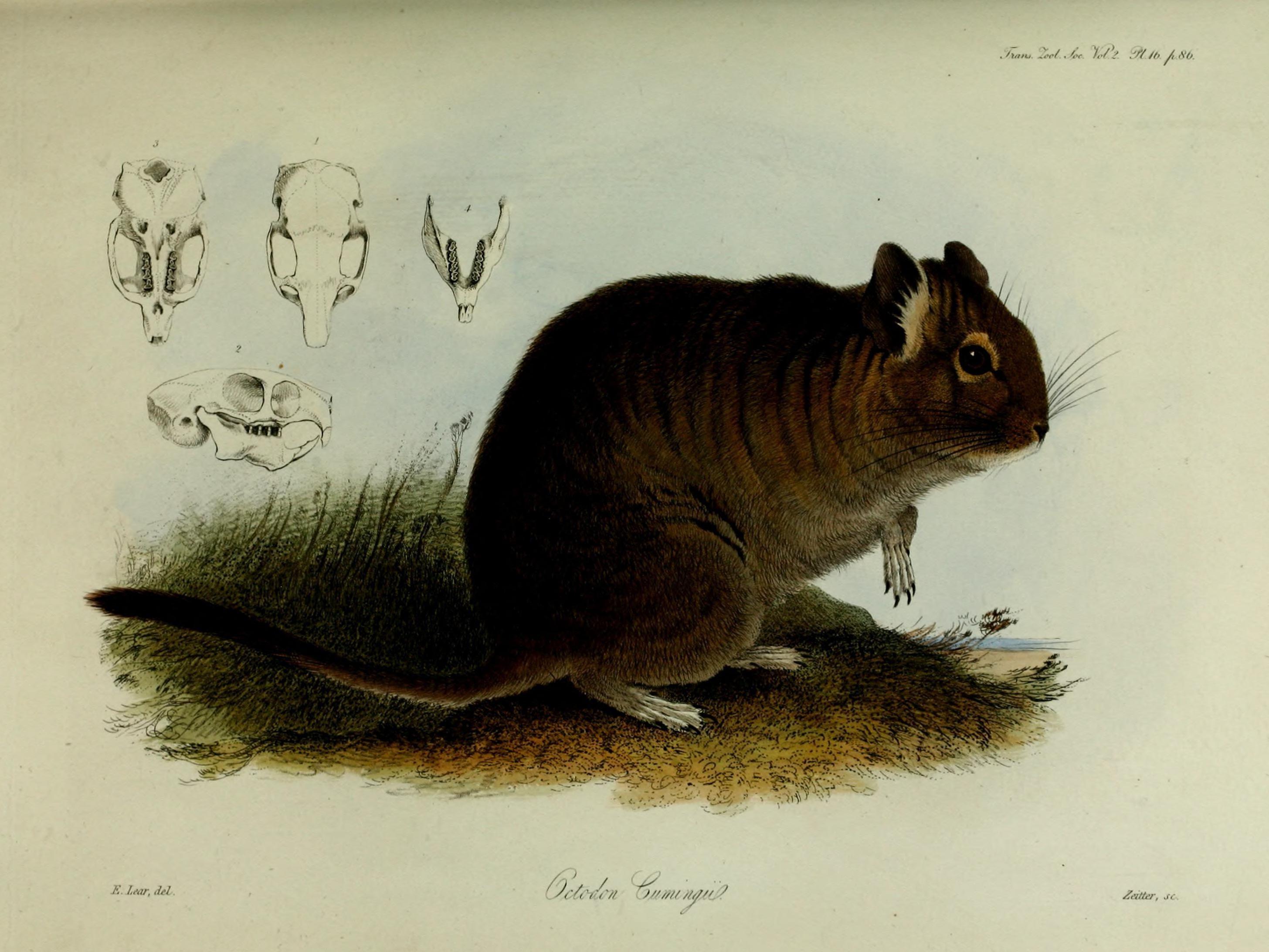 Image of degu