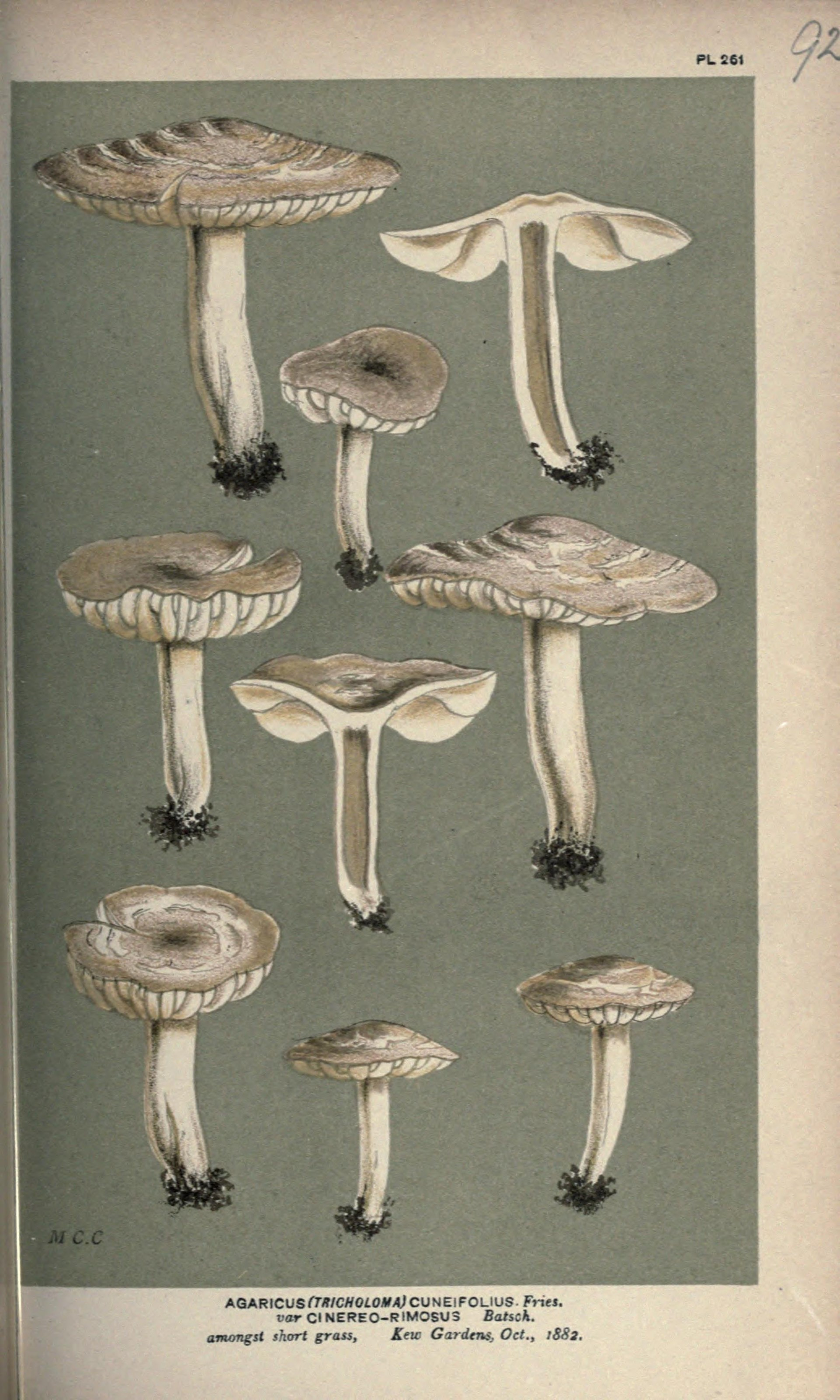 Image of <i>Dermoloma cuneifolium</i> (Fr.) Singer ex Bon 1986