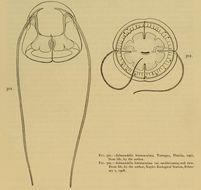 Image of <i>Solmundella bitentaculata</i> (Quoy & Gaimard 1833)