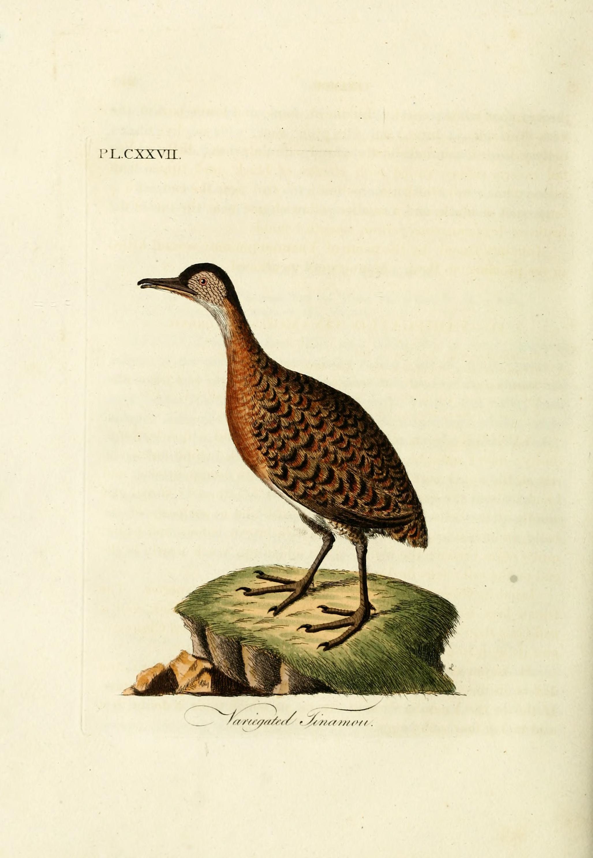 Image of Variegated Tinamou