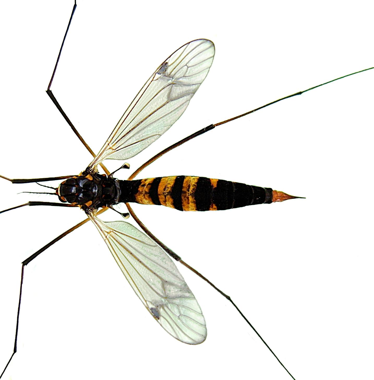 Image of <i>Nephrotoma crocata</i> (Linnaeus 1758)