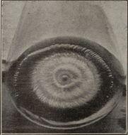 Image of Microsporum