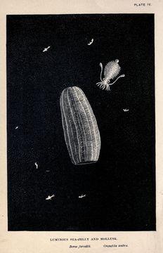 Image of <i>Cranchia scabra</i> Leach 1817