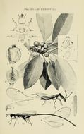 Image of Fig wasp