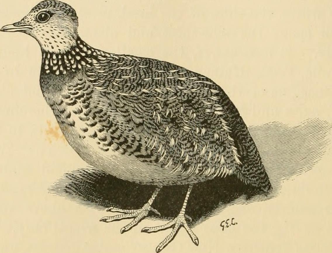 Image of Plains-wanderer