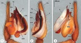 Image of <i>Thaida chepu</i> Platnick 1987