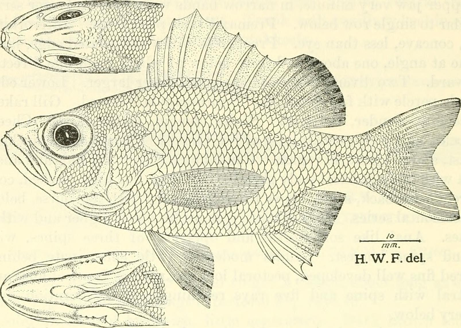 Image of Blackthroat seaperch