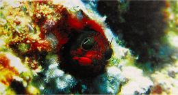 Image of Clubhead Barnacle Blenny
