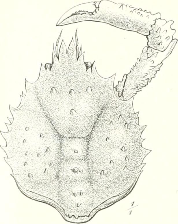 Image of rugose spider crab