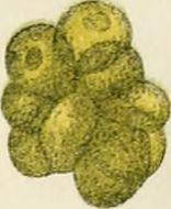 Image of Chlorococcum