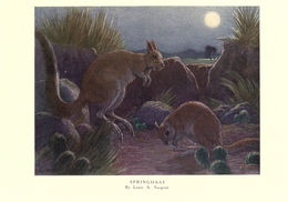 Image of South African Spring Hare