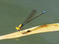 Image of Gold-fronted Riverdamsel