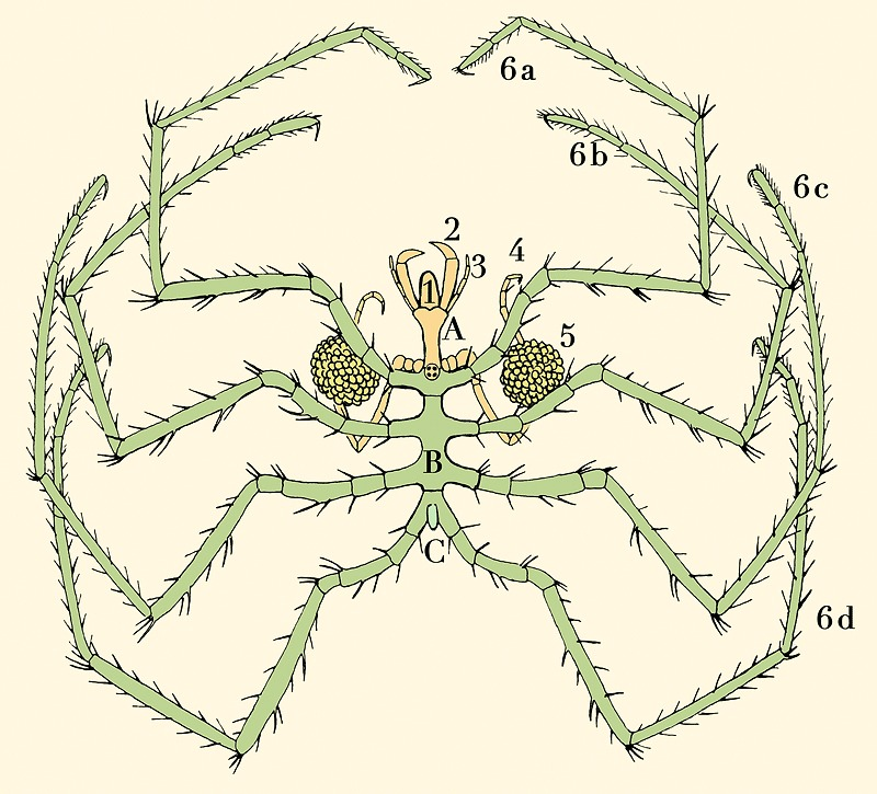 Image of unidentified sea spider