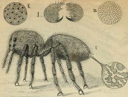 Image of <i>Phoneutria fera</i> Perty 1833