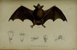 Image of New Zealand lesser short-tailed bat