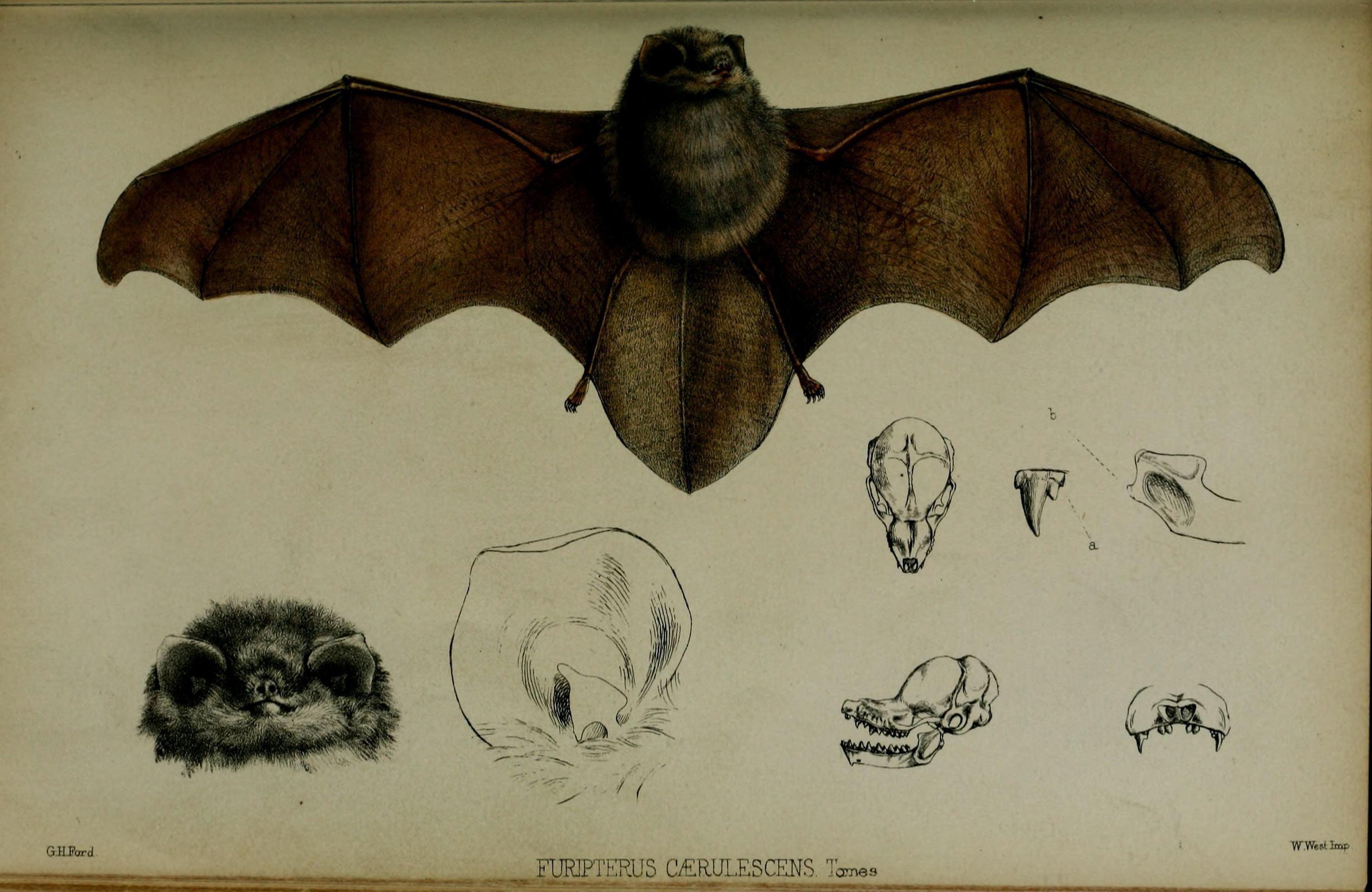 Image of smoky bats and thumbless bats