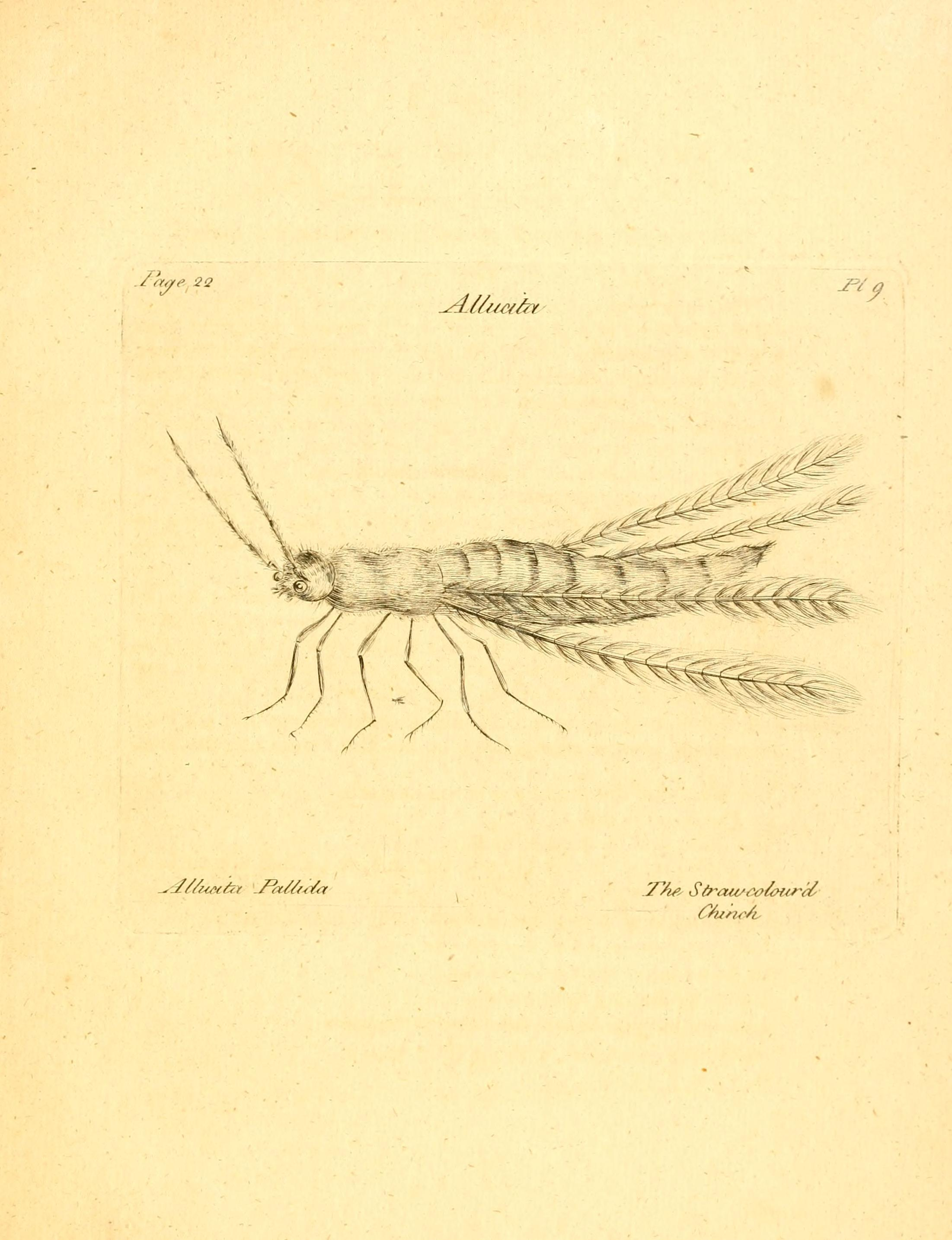 Image of Thrips