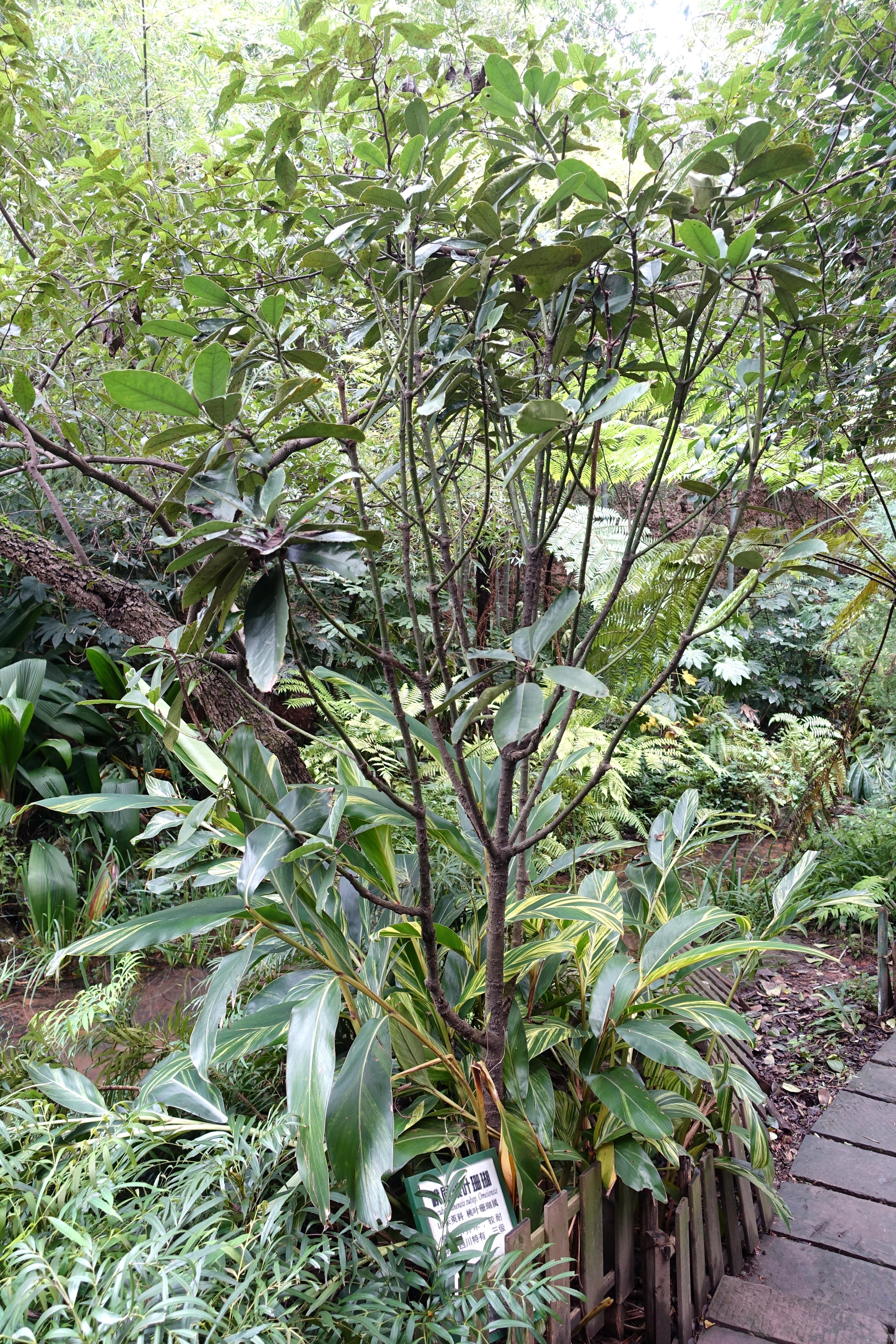 Image of <i>Aucuba chinensis</i> Benth.