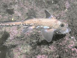 Image of Spotted Ratfish