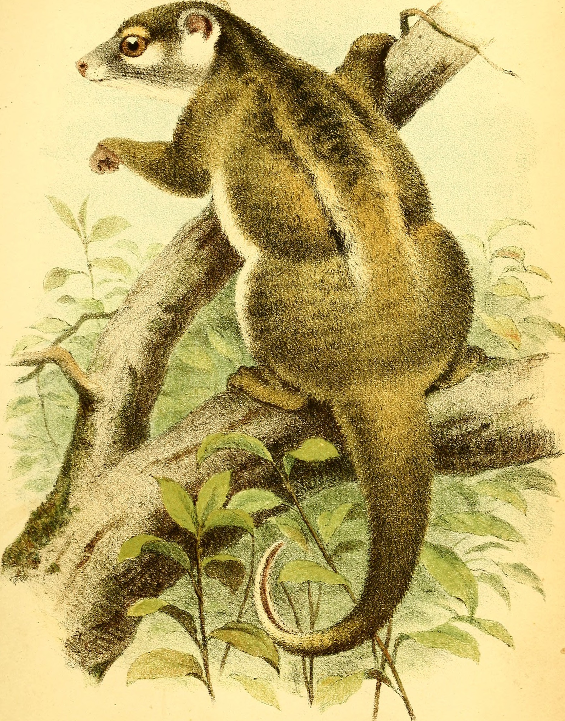 Image of Green Ringtail Possum