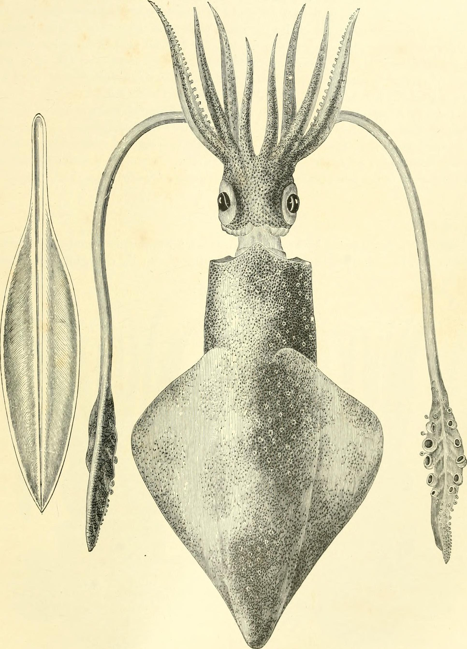 Image of European squid