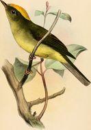 Image of <i>Neopelma chrysocephalum</i> (Pelzeln 1868)