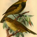 Image of Wattled Ploughbill