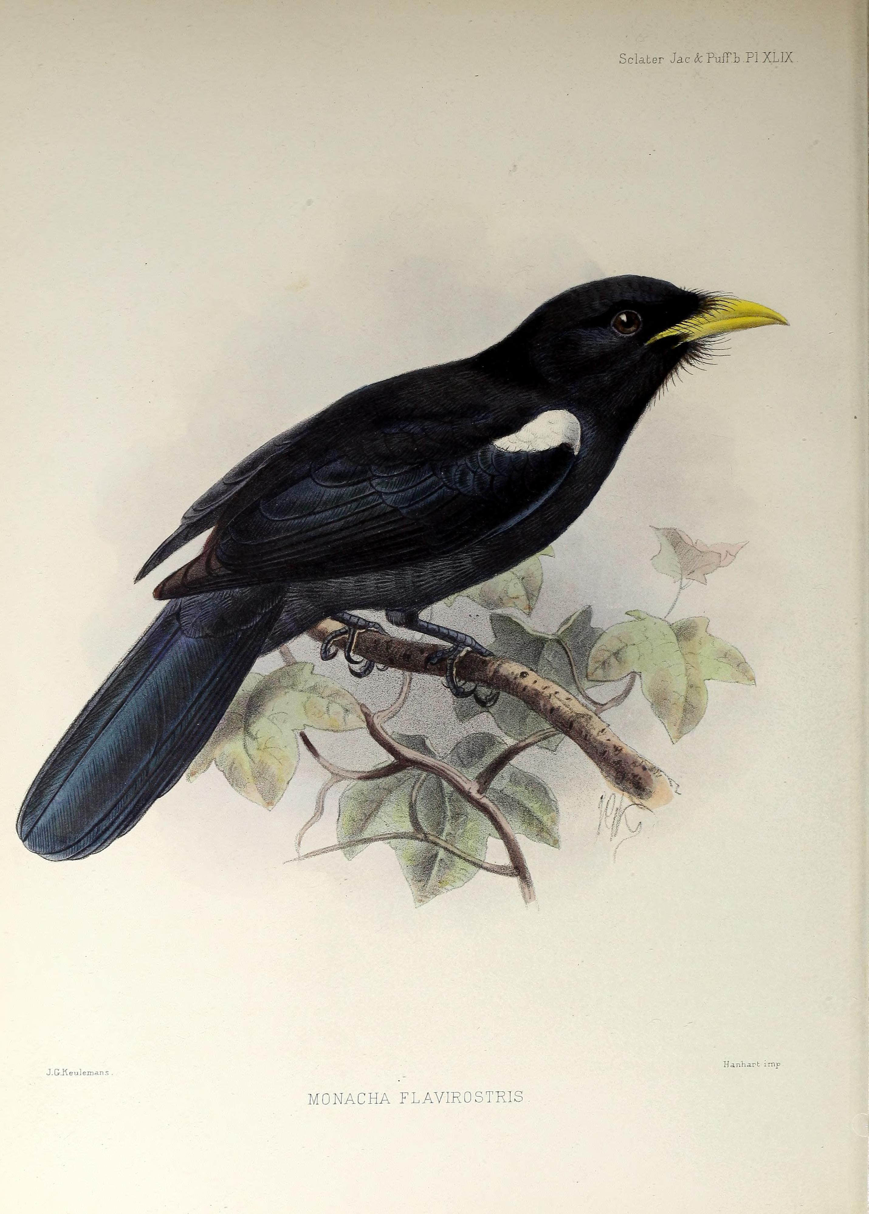 Image of Yellow-billed Nunbird