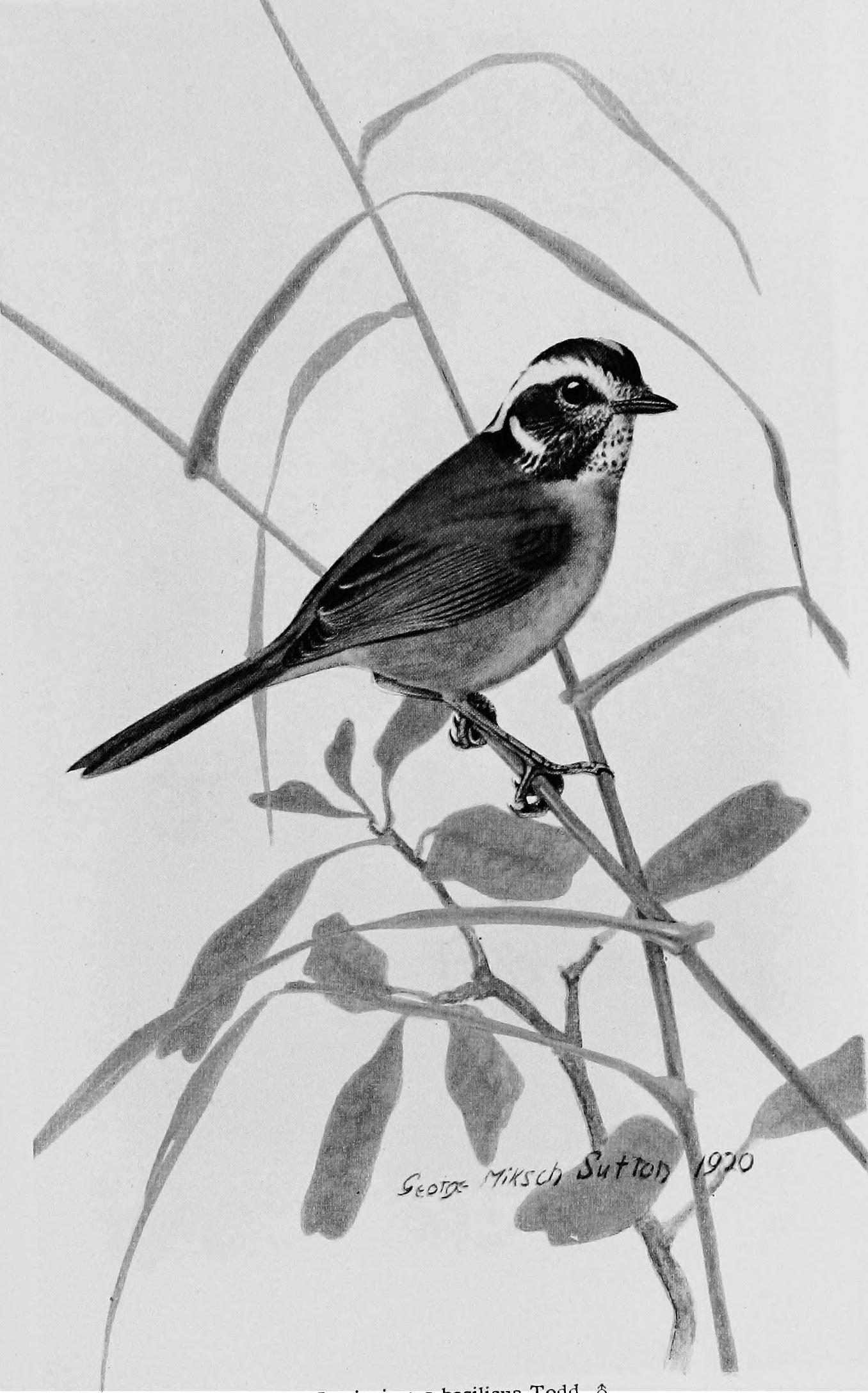 Image of Santa Marta Warbler