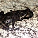 Image of Kelaart's dwarf toad