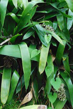 Image of <i>Aechmea serrata</i> (L.) Mez