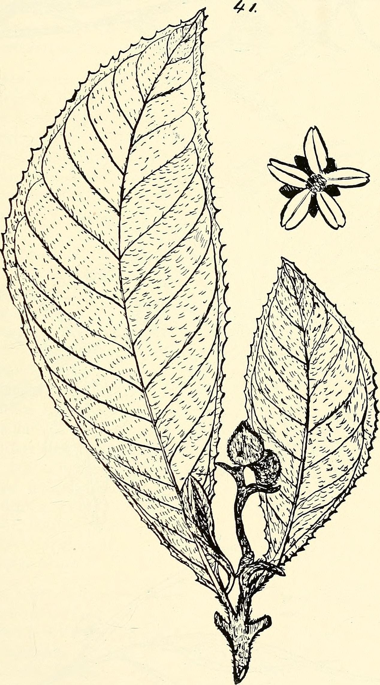 Image of Saurauia