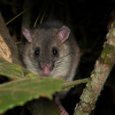 Image of tufted-tailed rat