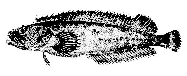 Image of <i>Auchenionchus microcirrhis</i> (Valenciennes 1836)