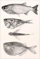 Image of Common hatchetfish
